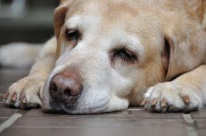 疲れている犬